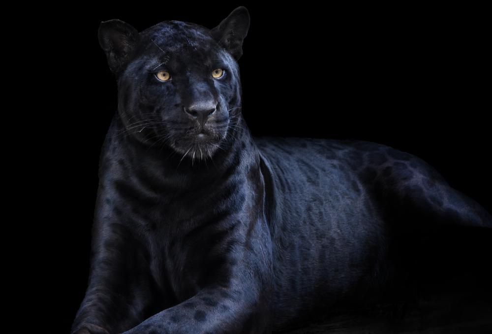 動物占い 黒ひょう